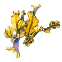Extract de alge brune (Fucus vesiculosus)